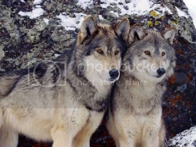 wolfs Pictures, Images and Photos